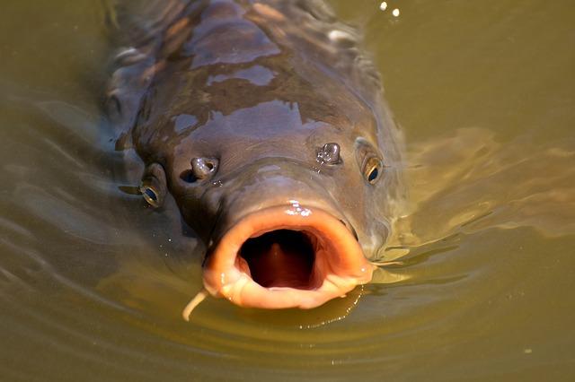 ryba, kapr