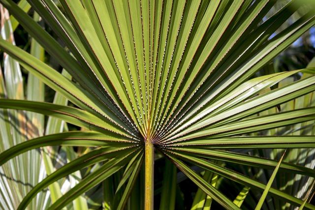 palmovník
